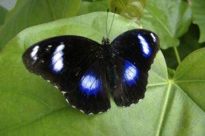 бабочка Лунная на листике hypolimnus bolina