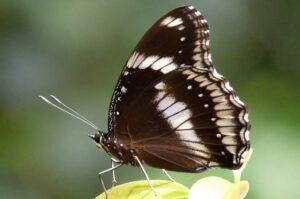 hypolimnus bolina бабочка Лунная