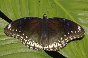 бабочка Лунная hypolimnus bolina