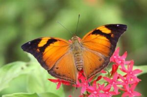doleschallia bisaltide живая бабочка Лист