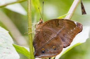 бабочка сухой лист  doleschallia bisaltide