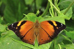 doleschallia bisaltide бабочка сухой лист