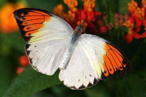 живая бабочка белянка hebomoia glaucippe