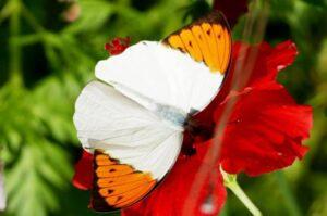 бабочка белянка hebomoia glaucippe