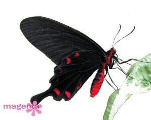 живая бабочка Коцебу (Pachliopta Kotzebuea)