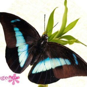 живая бабочка Препона