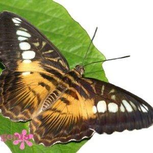 бабочка Сильвиия- 7-8см 200 грн