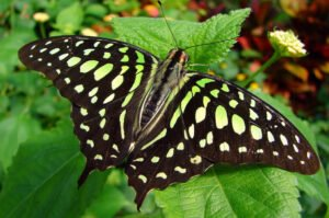 графиум агамемнон бабочка Graphium Agamemnon
