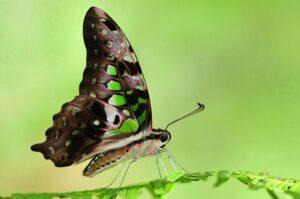 бабочка графиум агамемнон Graphium Agamemnon ест
