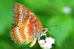 Библис бабочка Cethosia biblis