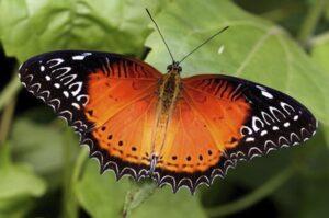 живая бабочка Библис Cethosia biblis