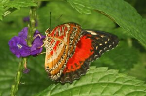 бабочка Библис Cethosia biblis