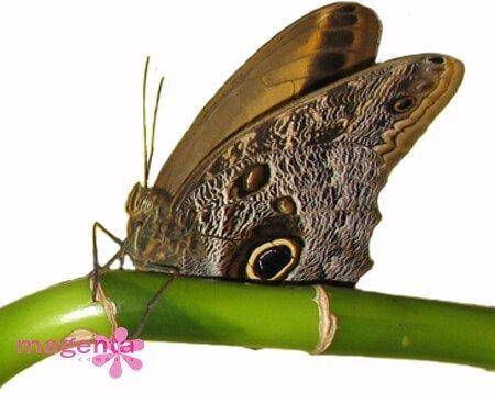живая бабочка Калиго