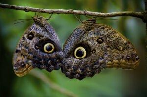 Бабочка калиго Caligo Memnon