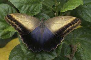 Калиго бабочка живая