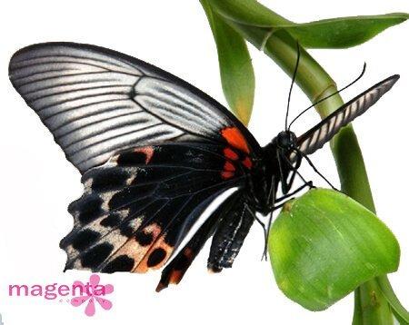 Живая бабочка Papilio lowi