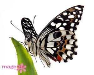 живая бабочка лимонник 6-7см 200 грн
