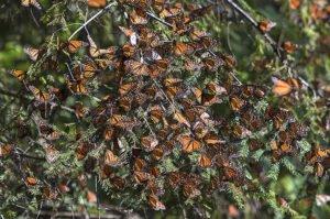 ветки ломаются под весом бабочек монархов
