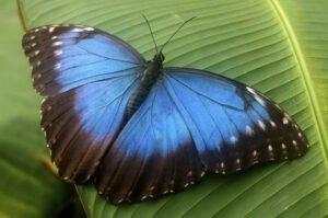 бабочка морфида морфо morpho peleides