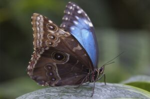 morpho peleides  бабочка морфида морфо