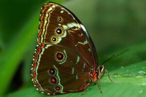 синяя бабочка морфида пелеида