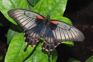 бабочка парусник леви papilio lowi