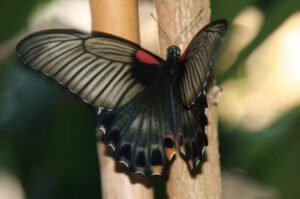 papilio lowi  парусник леви бабочка