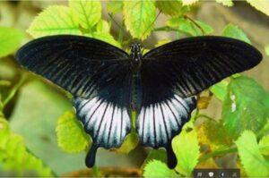 бабочка ночь Papilio lowi самец