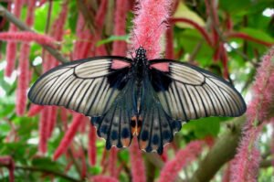 papilio lowi  парусник леви бабочка живая