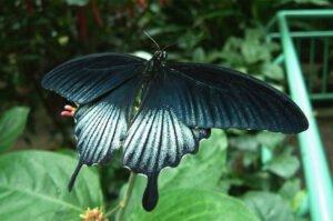 живая бабочка ласточкин хвост или ночь Papilio lowi