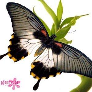 живая бабочка Парусник Леви