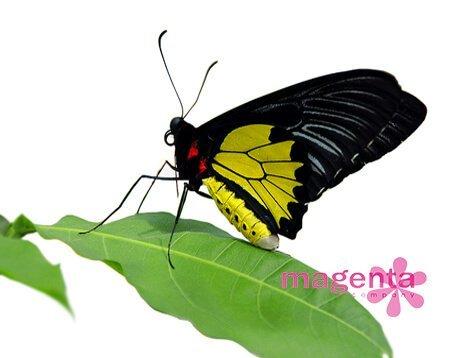 живая бабочка птицекрылка