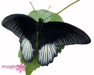 живая бабочка ночь