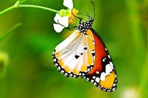 бабочка Оранж ест danaus chrysippus