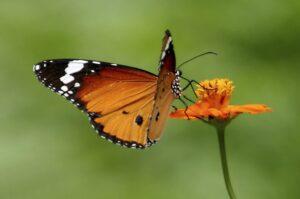 danaus chrysippus бабочка Оранж