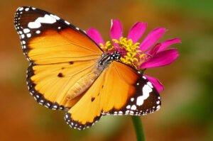 бабочка Оранж danaus chrysippus