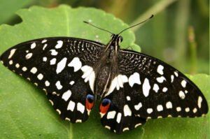 papilio demoleus бабочка лайм