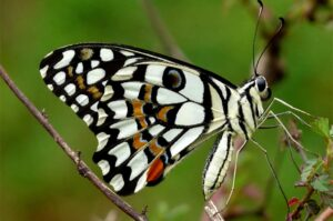 бабочка лайм papilio demoleus сидит