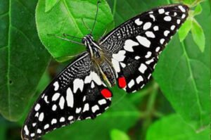 бабочка лайм papilio demoleus