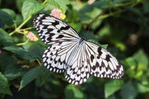 бабочка idea leuconoe  зебра