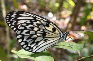 бабочка идея левконое idea leuconoe