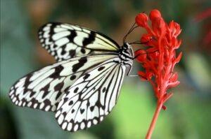 бабочка зебра или бумажный змей