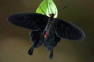 pachliopta kotzebuea живая бабочка Коцебу