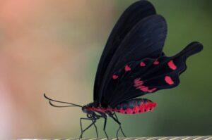 pachliopta kotzebuea бабочка Коцебу