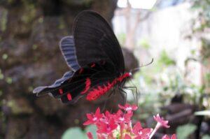 бабочка Коцебу pachliopta kotzebuea
