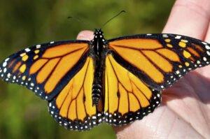 бабочка монарх danaus plexippus