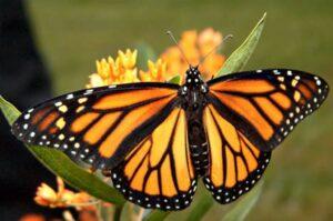 живая бабочка монарх danaus plexippus