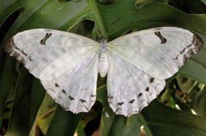 бабочка невеста морфо полифем