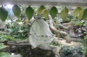 morpho polyphemus на куколке белая морфа