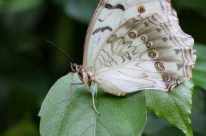 morpho polyphemus на листике бабочка белая морфа